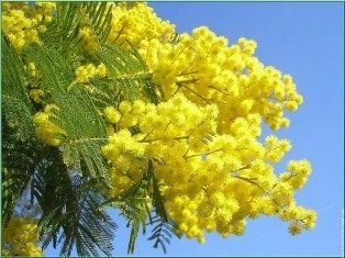 mimose