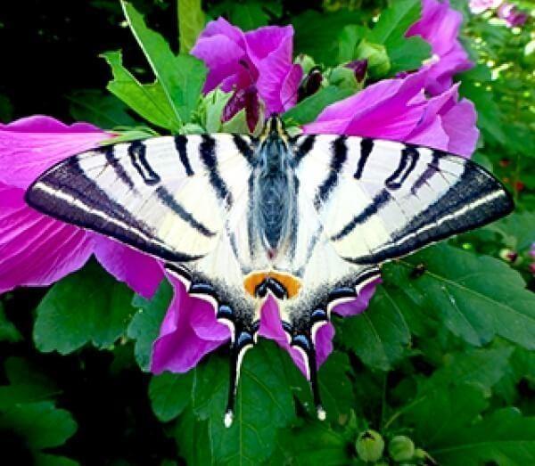 Farfalle vive un regalo originale non per tutti for Immagini farfalle per desktop